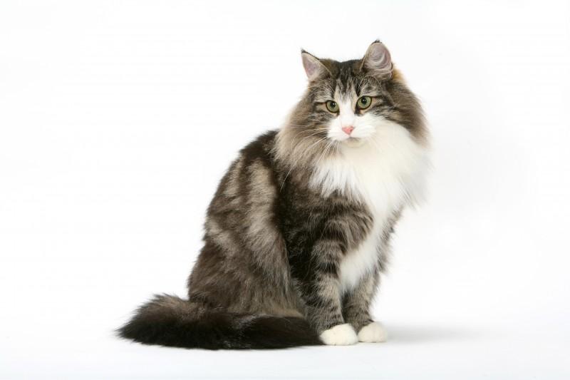 ノルウェージャンフォレストキャット 英名:Norwegian Forest Cat